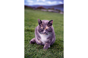 Cat of Gurness